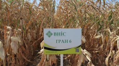 Семена Кукурузы Гран 6 (ФАО 300) напрямую от производителя