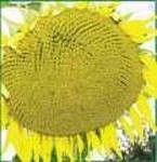 Насіння соняшнику Дністер, фр. екстра