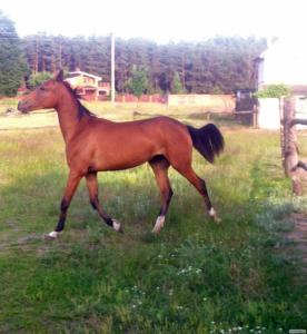 Продається кобила ахалтекінської породи