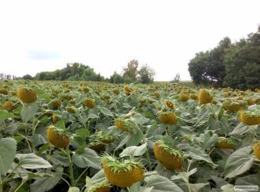 Пропонуємо насіння соняшнику – Армагедон