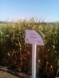 Пшениця Богдана насіння