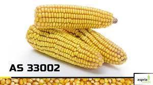 АС 33002, простий гібрид (ФАО 250 дн,)
