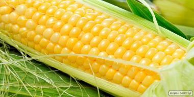 Семена кукурузы. Лучшие гибриды национальной селекции.