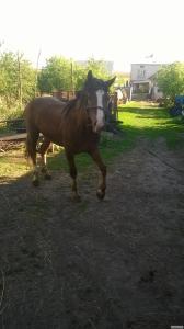 Продам молодого коня