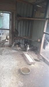 Охотничие и Румынские фазаны в охотничие угодья