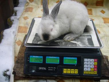 Кролики Калифорния,Полтавское серебро.Немецкий великан(Строкач).