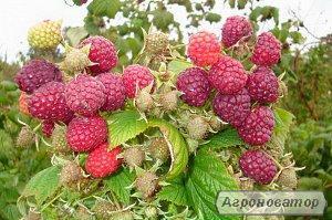 Продам саджанці та кущі малини сорту Таруса або малинове дерево
