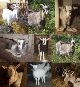 Продам козу дойную