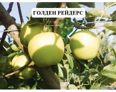 Саджанці яблуні сорту Голден Делішес Рейндерс, від виробника