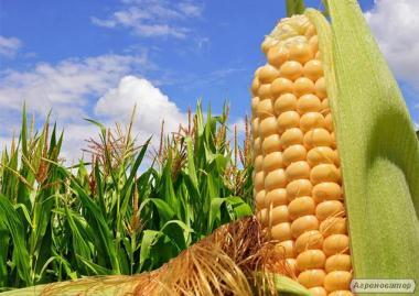 Семена кукурузы Солонянский 298 СВ (2015 г.)