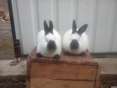 Продам кроликов породы Калифорния.