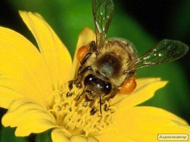 Пчеломатки Карпатки