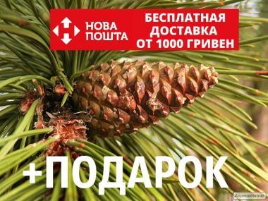 Сосна чёрная австрийская семена (50 шт) (Pinus nigra)