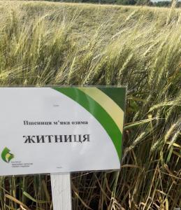 Семена пшеница озимая Одесская: Мудрость, Благодарка, Оранта, Катруся