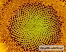Насіння соняшнику сорту ЧУМАК (1репродукція) від виробника.