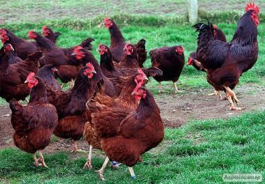Суточные цыплята кур породы Родайланд