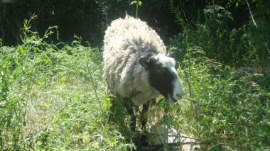 Вівці романівської породи, дорослі та молодняк р. Кропивницький