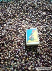 Продам семена чеснока - воздушка