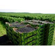 свіжі ягоди чорної смородини
