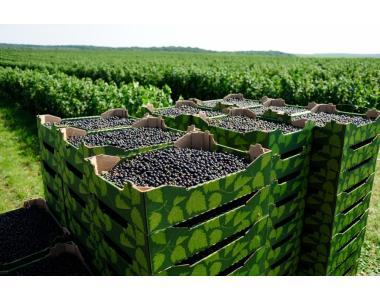 свежие ягоды черной смородины