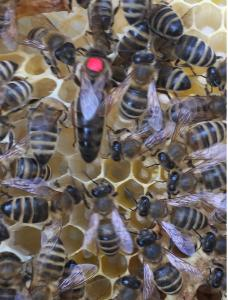 Матка Карпатка 2017 ПЛІДНІ БДЖОЛОМАТКИ (Бджоломатки,Бджоломатка, Матки)