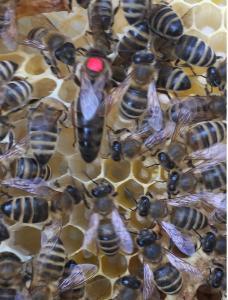 Матка Карпатка 2020 ПЛОДНЫЕ ПЧЕЛОМАТКИ (Бджоломатка, Пчелиные матки)