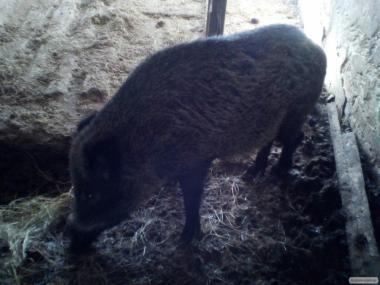 Продам диких свиней.ТОРГ!