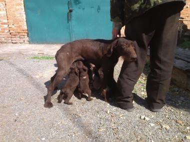 Продам щенков немецкой легавой породы DrotGar