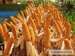 Семена кукурузы: Даниил, Оржица, Моника, Адевей, Хортица, Хотин  и др.