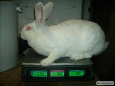 Кролики термондской породы