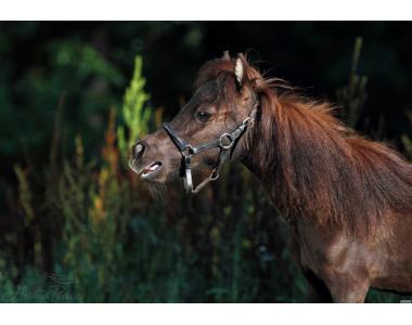 Миниатюрная Американская Лошадь  Лора