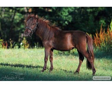 Мініатюрна Американська Кінь Лора