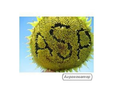 Семена подсолнечника  ЖАЛОН F1  заразихоустойчивый   1600грн/п.е.