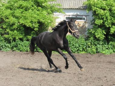 Перспективна конкурно\выездковая кобила!