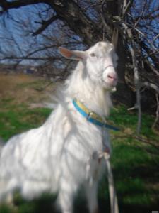Продам зааненского козла с документами