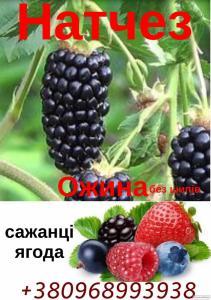 Саджанці Ожини Безколючкова -1-2 рік.Натчез,Чачанская Бестрна,та інші