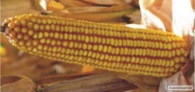 Шаролта ФАО 290 семена гибрида кукурузы венгерской селекции