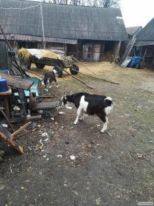 Продам молочную козу