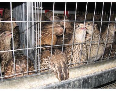 Инкубационные перепелиные яйца Днепропетровск