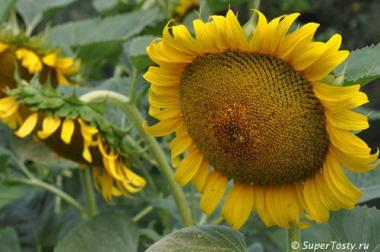 Солнечное настроение (98-103 дн) гибрид толерантен к гранстар фр.стандарт (m1000=51-64г)
