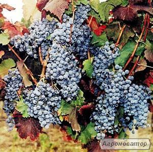 Домашнее вино. 100% натуральное!