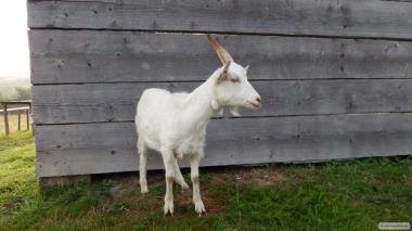 ФХ продает овцы гісарської, козы, козел, баран