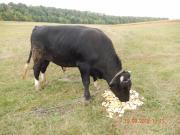 Продаю бика
