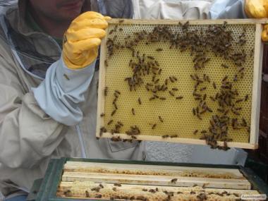Бджолосім'ї породи Карніка