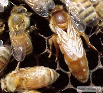 Бджоломатки бакфаст ВО Польща 2018