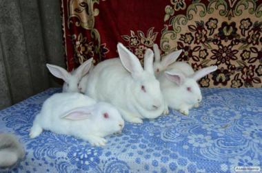 Кролі бройлерної породи Термонська біла