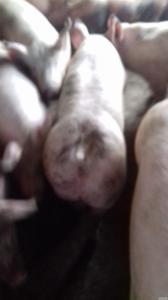 свиноматки на расплод