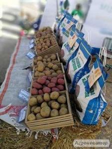 Семенной картофель. Семенной Посадочный Картофель Бикини