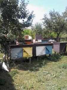 Пчелосемьи и пакеты пчел Карпатской породы, Львовская обл.