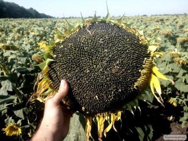 Семена подсолнечника Обрион